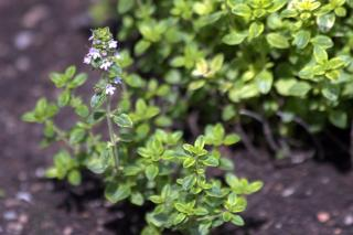 A favorite around the hot dry mediterranean is this lemon thyme