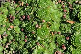 Houseleek forming full green groundcover