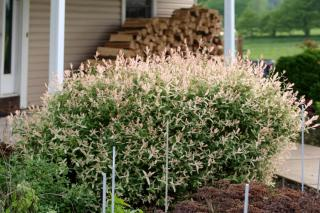 Planting a Japanese willow