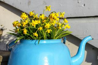 Narcissus in a pot