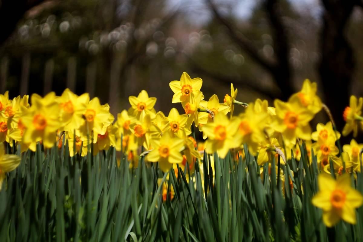 Field of yellow narcissus