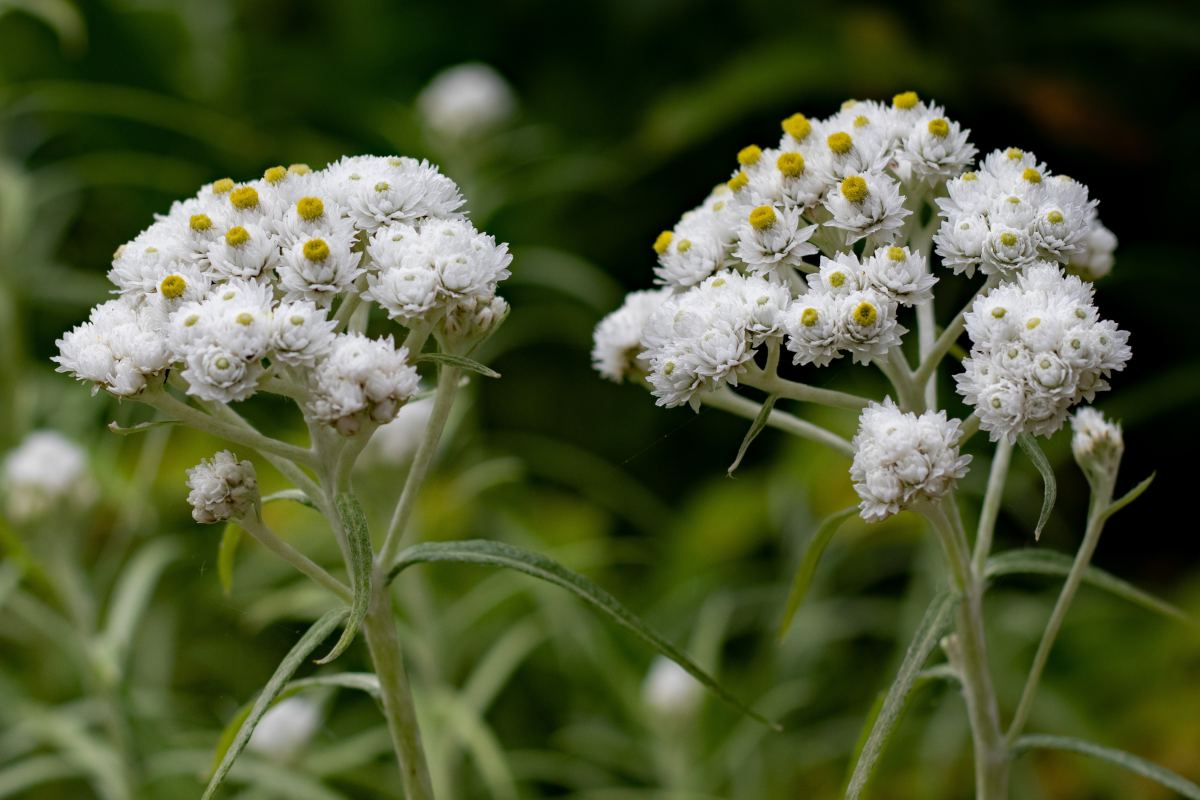 Pearly everlasting, a flower that can cope with drought