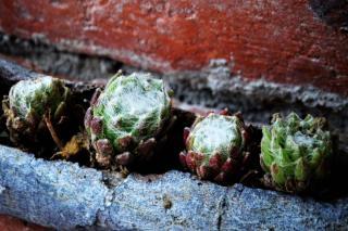 Wispy strands cover the leaves of this houseleek species
