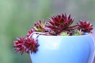 Houseleek in a pot, with smaller rosettes