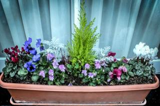 Conifer in a garden box for spring