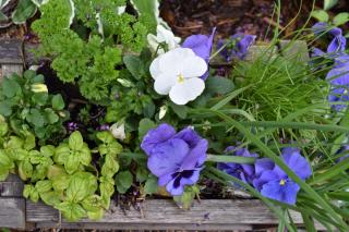 Spring garden flower box with herbs and flowers