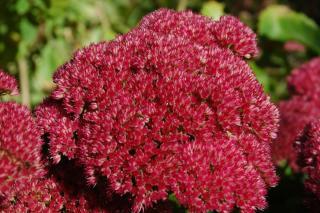 Stonecrop flower