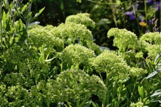 Planting stonecrop and caring for it
