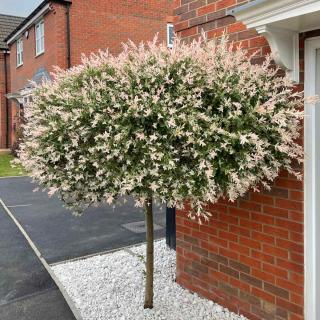 Care and pruning for dappled willow