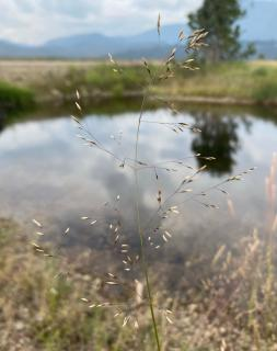 Tufted hairgrass will suit large panoramas very well