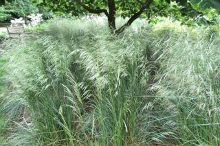 How to plant tufted hairgrass