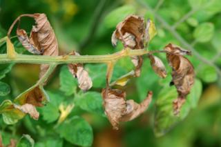 Symptoms of botrytis on leaves