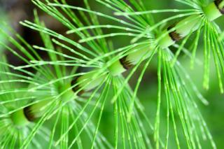 Horsetail stem, chop it up and use to make fungicide