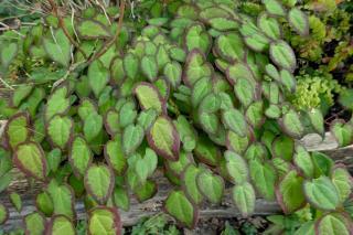 Species and varieties of Epimedium grandiflora
