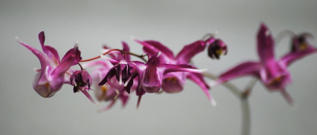 Wonderful Lilafee epimedium cultivar