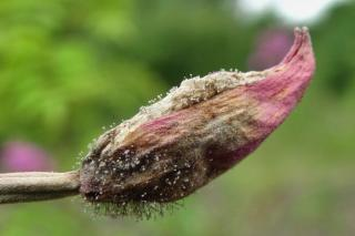 Even flowers can get botrytis infections