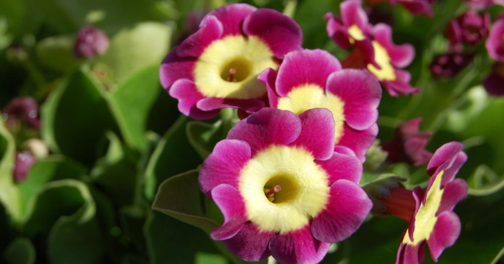 Primula auricula uses and companion plants