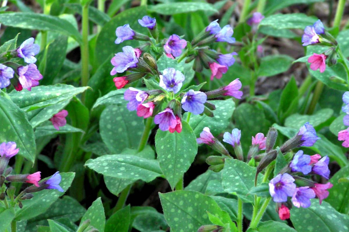Planting and caring for lungwort