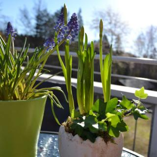 Narcissus and muscari with ivy in small pots
