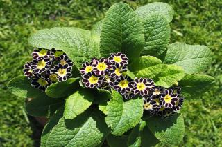 Planting guide for primula auricula