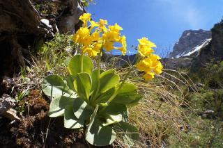 Primula auricula growing and care