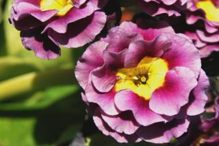 Watering and caring for Primula auriculata