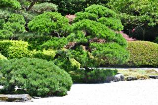Conifers excel at enriching zen gardens