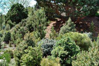 Small dwarf conifers