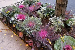 Ornamental cabbage (or kale) in a cement grower