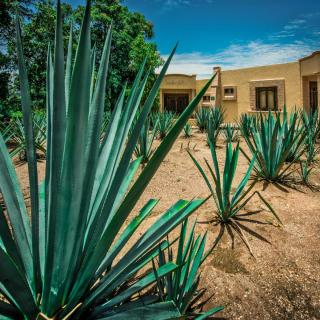 Care, exposure and planting for agave