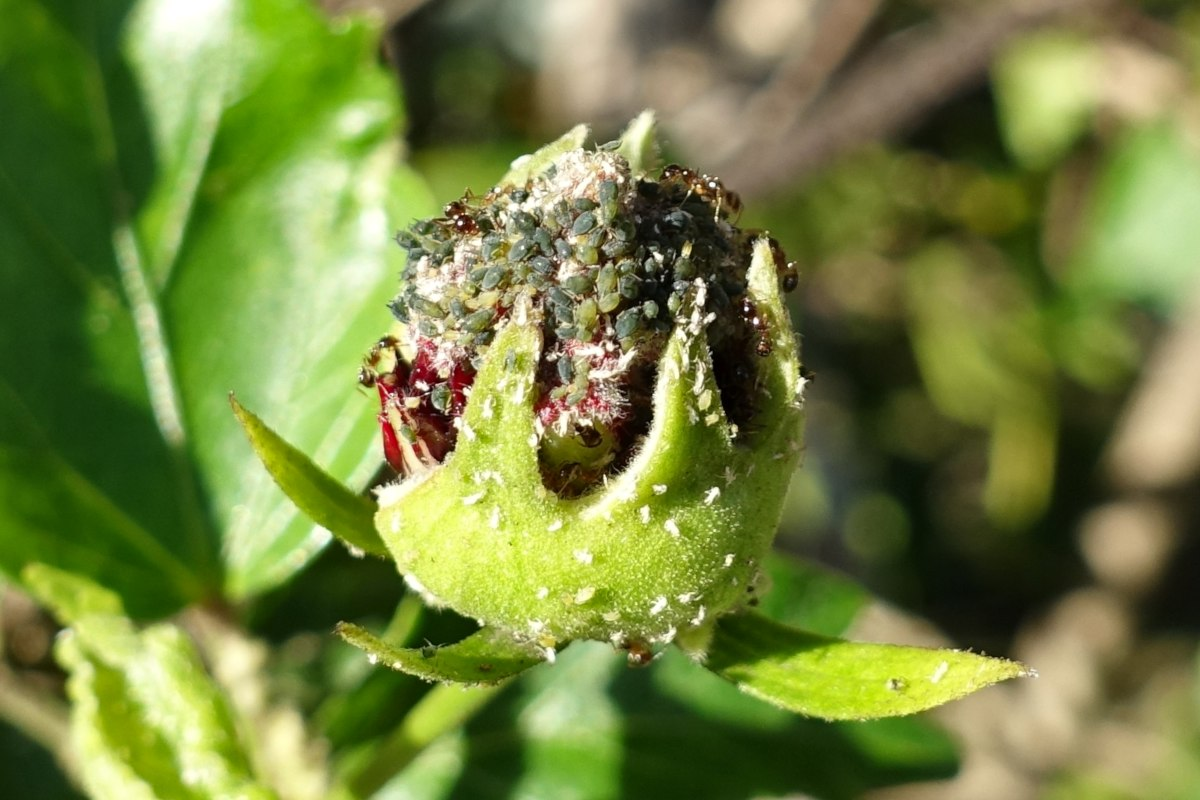 Aphids on a hibiscus flower