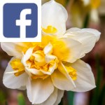Picture related to Double daffodils overlaid with the Facebook logo.
