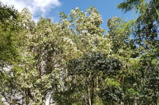Landscaping with eucryphia
