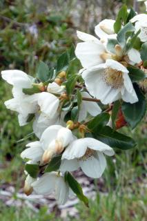 Planting, care and pruning eucryphia