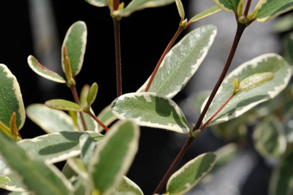 A variegated species