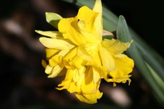 Yellow double-flowered daffodil