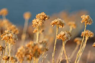 Dried helichrysum italicum flower stalks