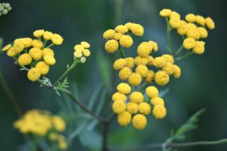 Landscaping uses for Helichrysum italicum