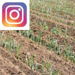 Picture related to Leek overlaid with the Instagram logo.
