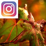 Picture related to Liquidambar overlaid with the Instagram logo.
