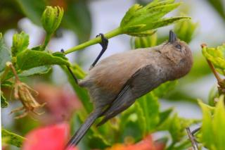 Bird eating aphids off an hibiscus