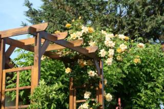 Climbing rose with trumpet vines on a pergola