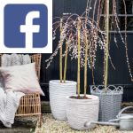 Picture related to Salix caprea overlaid with the Facebook logo.