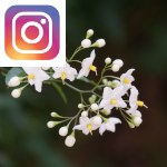 Picture related to Potato vine overlaid with the Instagram logo.