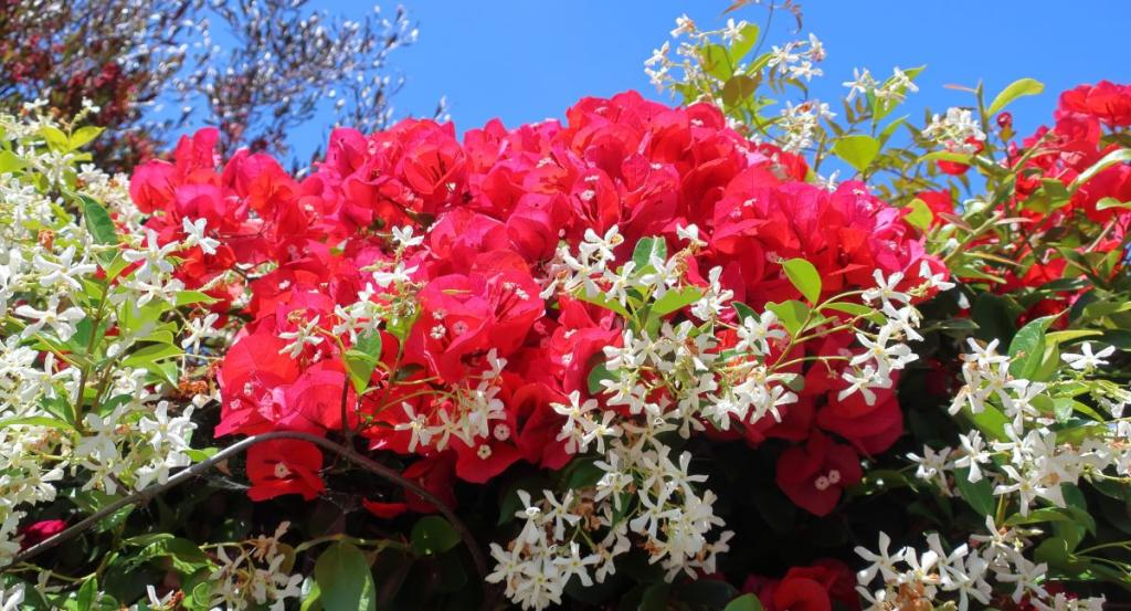 Uses of Trachelospermum jasminoides in landscaping includes fences