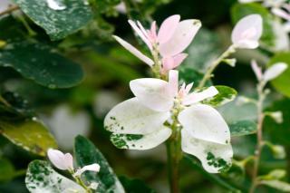 Different varieties of Trachelospermum jasminoides