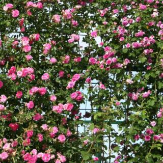 Trellis to support a climing rose